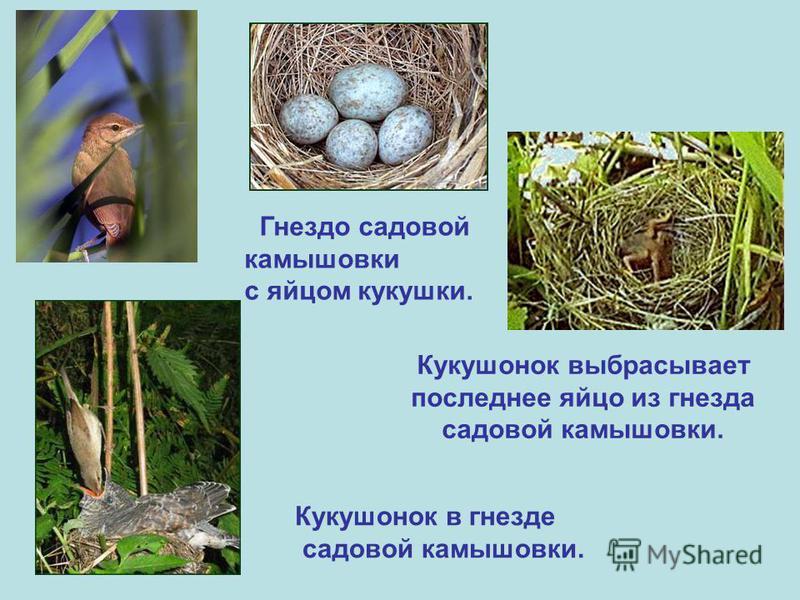 Гнездо садовой камышовки с яйцом кукушки. Кукушонок выбрасывает последнее яйцо из гнезда садовой камышовки. Кукушонок в гнезде садовой камышовки.