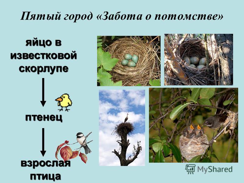 яйцо в известковой скорлупе птенец взрослая птица Пятый город «Забойта о потомстве»