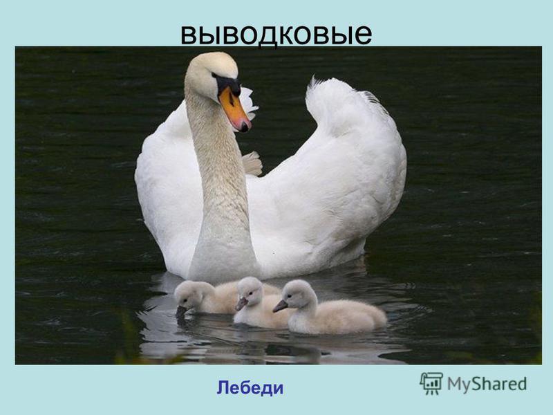 Лебеди выводковые