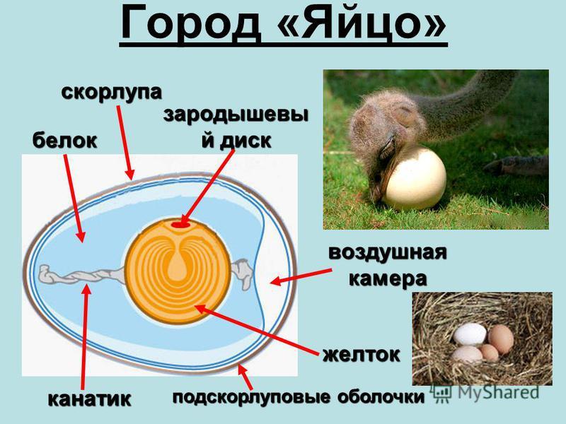 Город «Яйцо» зародышевый диск скорлупа воздушная камера подскорлуповые обойлочки белок желток канатик
