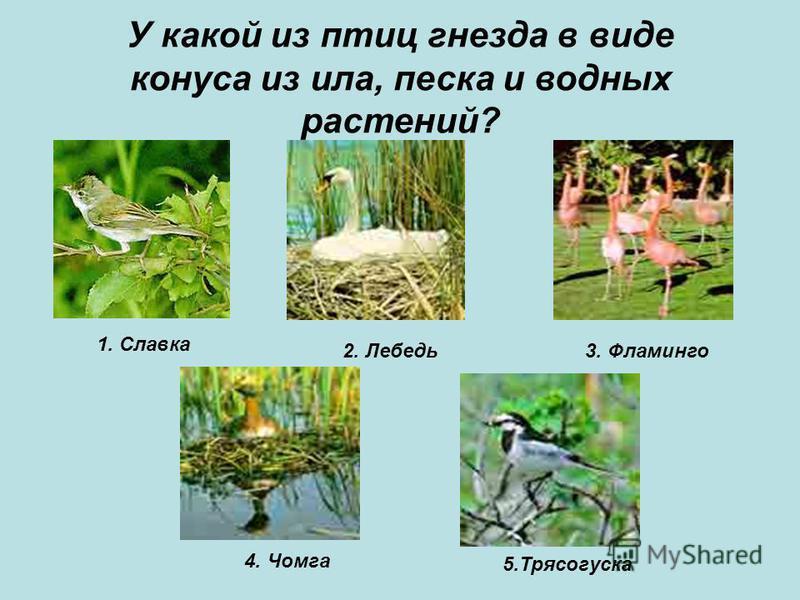 У какой из птиц гнезда в виде конуса из ила, песка и водных растений? 1. Славка 2. Лебедь 3. Фламинго 4. Чомга 5.Трясогуска