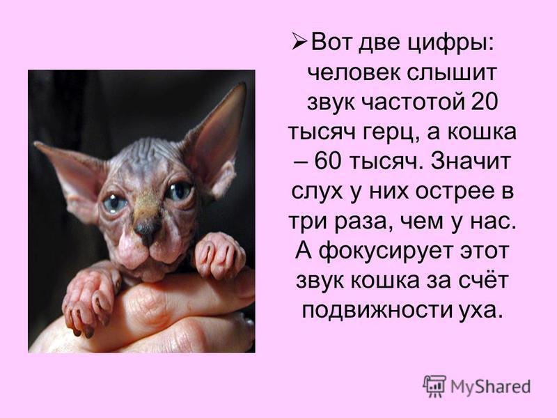 Вот две цифры: человек слышит звук частотой 20 тысяч герц, а кошка – 60 тысяч. Значит слух у них острее в три раза, чем у нас. А фокусирует этот звук кошка за счёт подвижности уха.