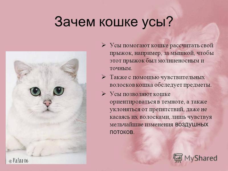 Зачем кошке усы? Усы помогают кошке рассчитать свой прыжок, например, за мышкой, чтобы этот прыжок был молниеносным и точным. Также с помощью чувствительных волосков кошка обследует предметы. Усы позволяют кошке ориентироваться в темноте, а также укл