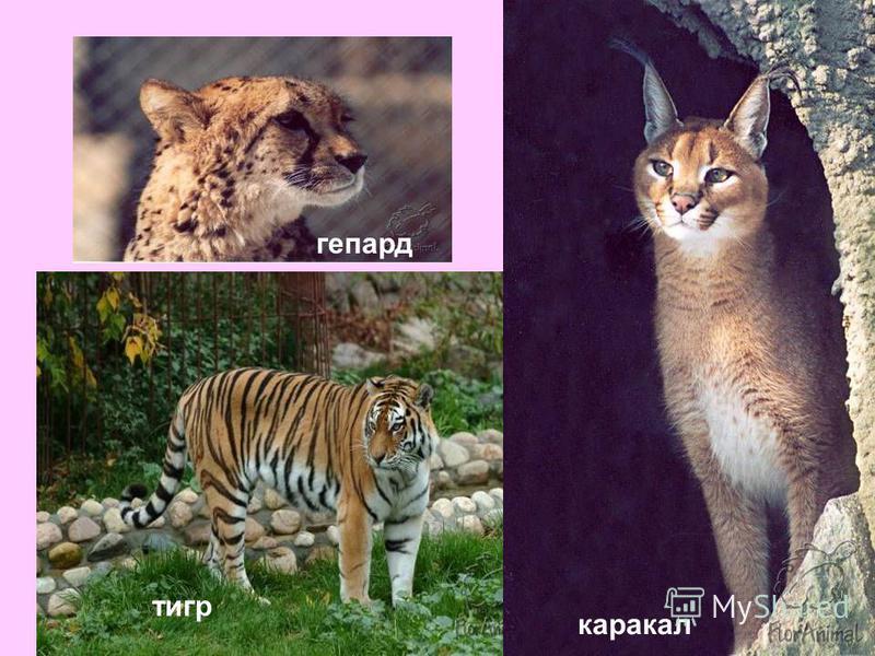 гепард тигр каракал
