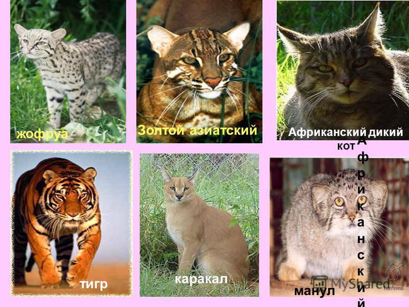 манул Африканский дикий кот Африканский дикий кот Африканский дикий кот жофруа Золтой азиатский тигр каракал