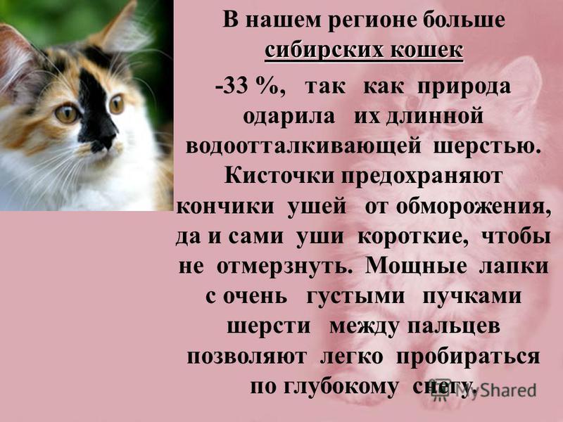 сибирских кошек В нашем регионе больше сибирских кошек -33 %, так как природа одарила их длинной водоотталкивающей шерстью. Кисточки предохраняют кончики ушей от обморожения, да и сами уши короткие, чтобы не отмерзнуть. Мощные лапки с очень густыми п
