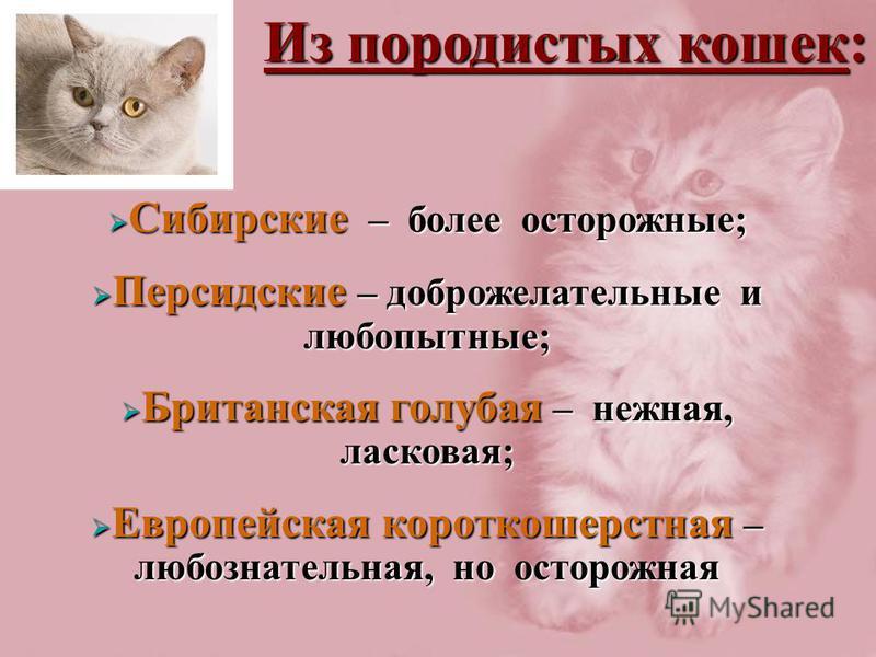 Из породистых кошек: Сибирские – более осторожные; Сибирские – более осторожные; Персидские – доброжелательные и любопытные; Персидские – доброжелательные и любопытные; Британская голубая – нежная, ласковая; Британская голубая – нежная, ласковая; Евр