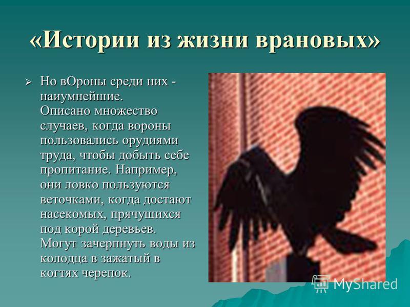 «Истории из жизни врановых» Но в Ороны среди них - наиумнейшие. Описано множество случаев, когда вороны пользовались орудиями труда, чтобы добыть себе пропитание. Например, они ловко пользуются веточками, когда достают насекомых, прячущихся под корой