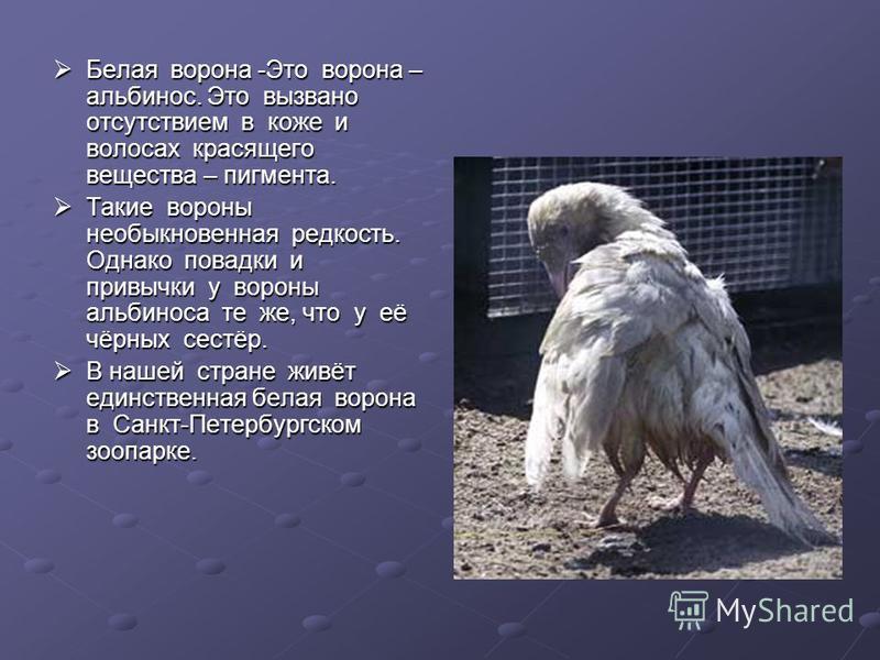 Белая ворона -Это ворона – альбинос. Это вызвано отсутствием в коже и волосах красящего вещества – пигмента. Белая ворона -Это ворона – альбинос. Это вызвано отсутствием в коже и волосах красящего вещества – пигмента. Такие вороны необыкновенная редк