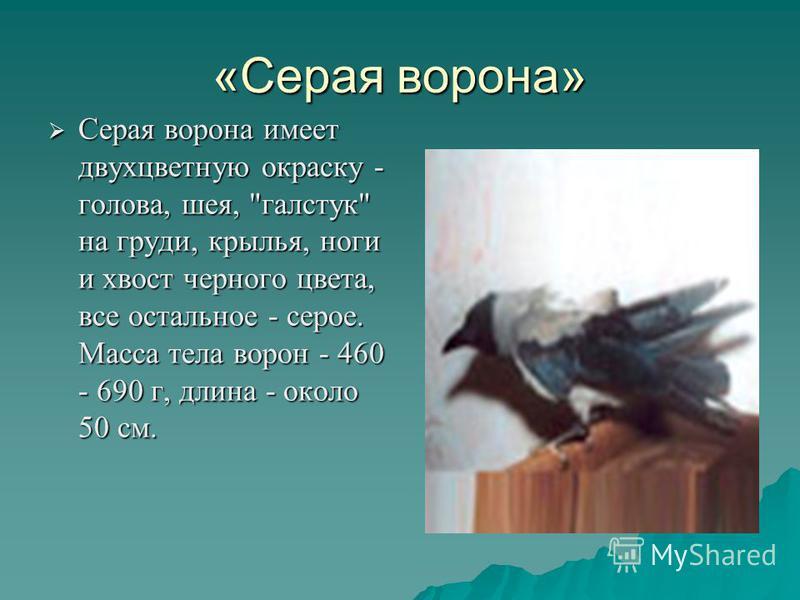«Серая ворона» Серая ворона имеет двухцветную окраску - голова, шея,