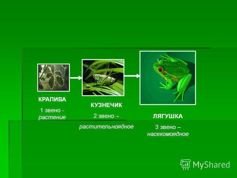 ЛЯГУШКА 3 звено – насекомоядное КУЗНЕЧИК 2 звено – растительноядное КРАПИВА 1 звено - растение
