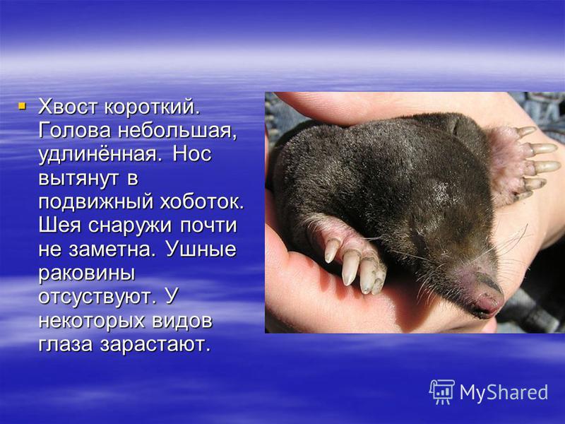 Хвост короткий. Голова небольшая, удлинённая. Нос вытянут в подвижный хоботок. Шея снаружи почти не заметна. Ушные раковины отсутствуют. У некоторых видов глаза зарастают. Хвост короткий. Голова небольшая, удлинённая. Нос вытянут в подвижный хоботок.
