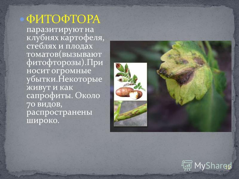 ФИТОФТОРА паразитируют на клубнях картофеля, стеблях и плодах томатов(вызывают фитофторозы).При носит огромные убытки.Некоторые живут и как сапрофиты. Около 70 видов, распространены широко. 12