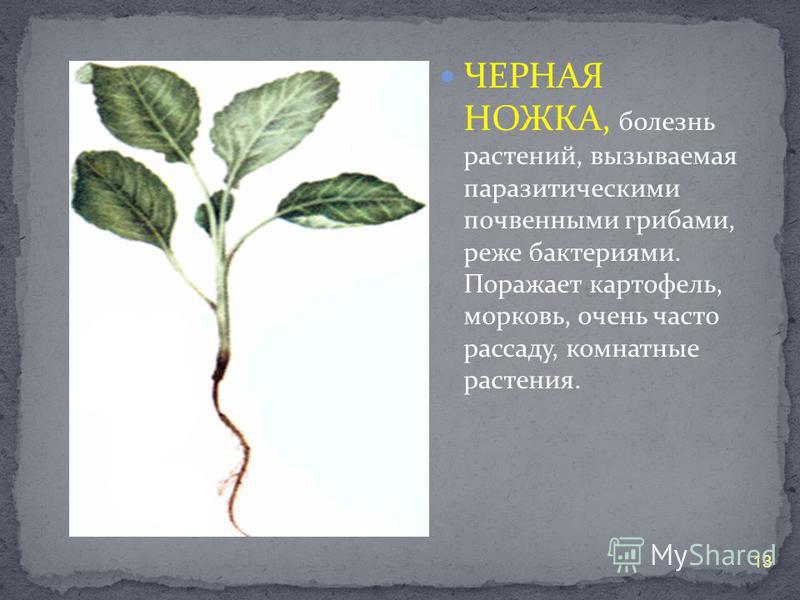 ЧЕРНАЯ НОЖКА, болезнь растений, вызываемая паразитическими почвенными грибами, реже бактериями. Поражает картофель, морковь, очень часто рассаду, комнатные растения. 13
