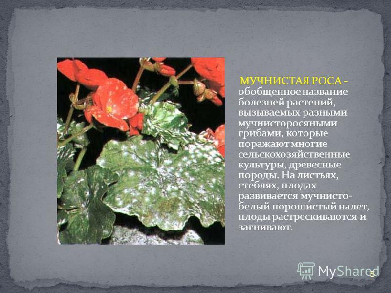 МУЧНИСТАЯ РОСА - обобщенное название болезней растений, вызываемых разными мучнисторосяными грибами, которые поражают многие сельскохозяйственные культуры, древесные породы. На листьях, стеблях, плодах развивается мучнисто- белый порошистый налет, пл