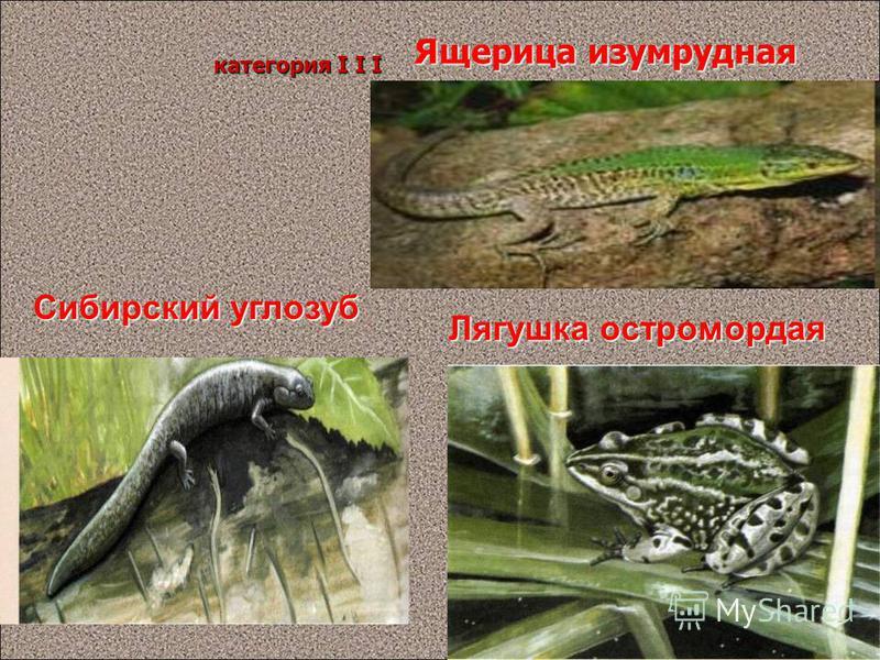 Ящерица изумрудная Сибирский углозуб категория I I I Лягушка остромордая Панова О.Л. 17