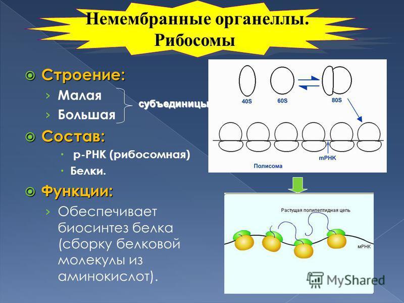 Строение: Строение: Малая Большая Состав: Состав: р-РНК (рибосомная) Белки. Функции: Функции: Обеспечивает биосинтез белка (сборку белковой молекулы из аминокислот). субъединицы Немембранные органеллы. Рибосомы