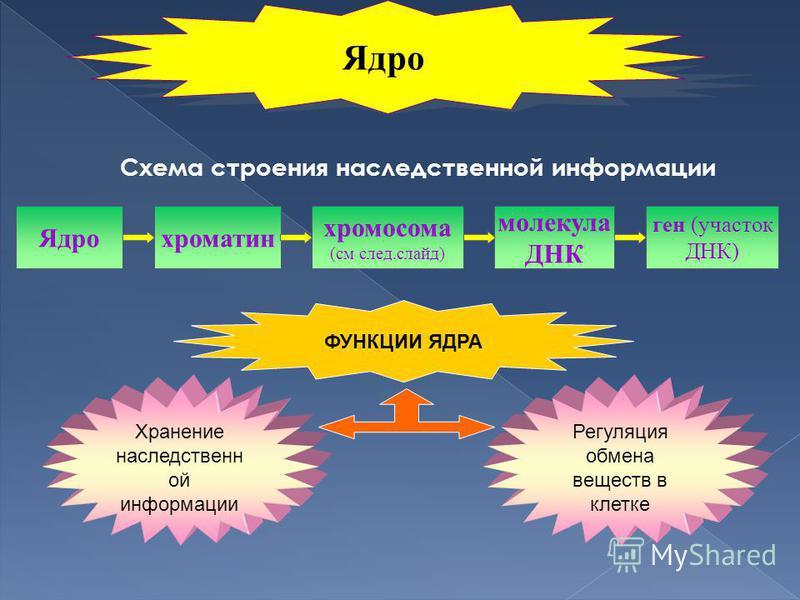 Схема строения наследственной информации Ядрохроматин хромосома (см след.слайд) молекула ДНК ген (участок ДНК) ФУНКЦИИ ЯДРА Хранение наследственной информации Регуляция обмена веществ в клетке Ядро