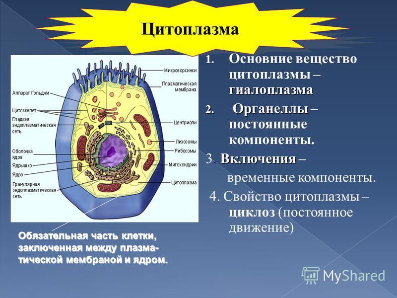 гиалоплазма 1. Основние вещество цитоплазмы – гиалоплазма 2. Органеллы 2. Органеллы – постоянные компоненты. Включения 3. Включения – временные компоненты. 4. Свойство цитоплазмы – циклоз (постоянное движение) Обязательная часть клетки, заключенная м