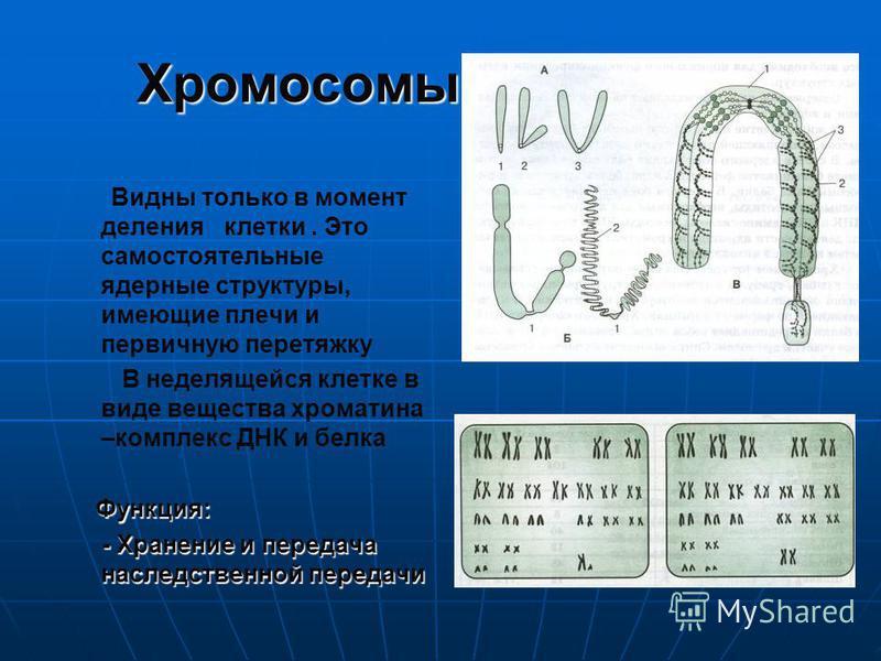 Хромосомы Видны только в момент деления клетки. Это самостоятельные ядерные структуры, имеющие плечи и первичную перетяжку В неделящейся клетке в виде вещества хроматина –комплекс ДНК и белка Функция: - Хранение и передача наследственной передачи - Х