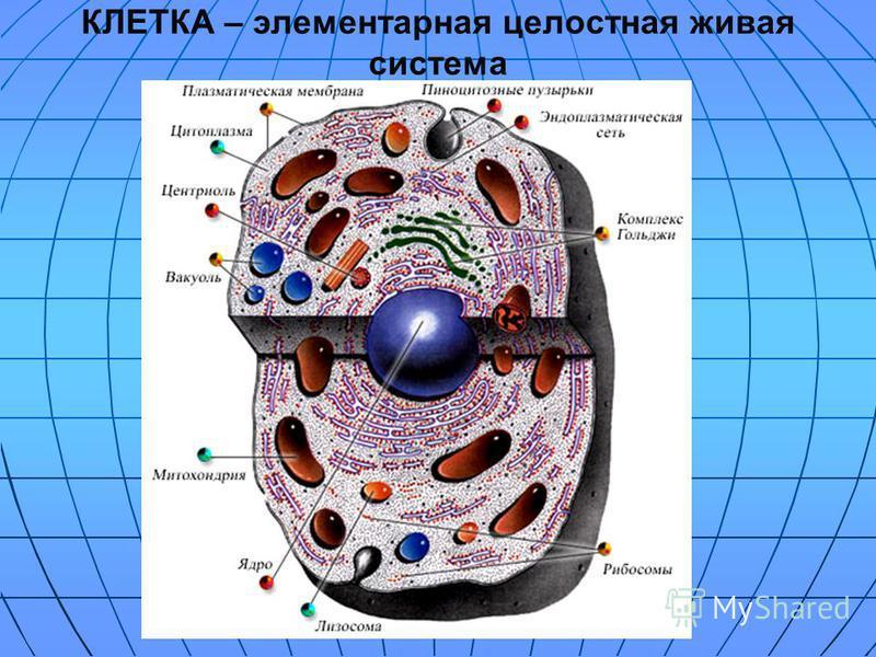КЛЕТКА – элементарная целостная живая система