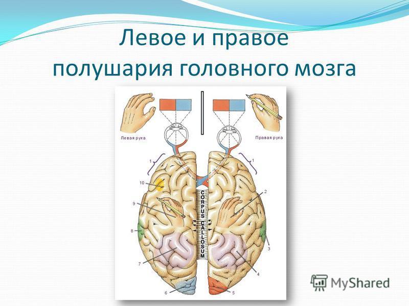 Левое и правое полушария головного мозга
