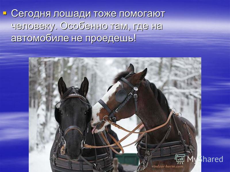 Сегодня лошади тоже помогают человеку. Особенно там, где на автомобиле не проедешь! Сегодня лошади тоже помогают человеку. Особенно там, где на автомобиле не проедешь!