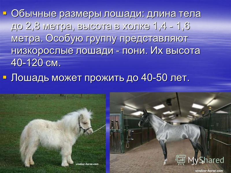 Обычные размеры лошади: длина тела до 2,8 метра, высота в холке 1,4 - 1,6 метра. Особую группу представляют низкорослые лошади - пони. Их высота 40-120 см. Лошадь может прожить до 40-50 лет.