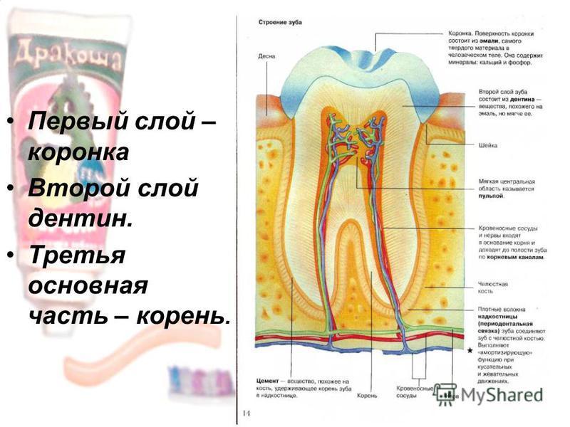 Первый слой – коронка Второй слой дентин. Третья основная часть – корень.