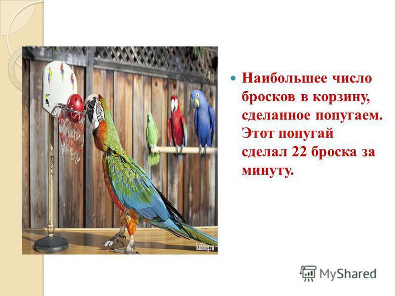 Наибольшее число бросков в корзину, сделанное попугаем. Этот попугай сделал 22 броска за минуту.
