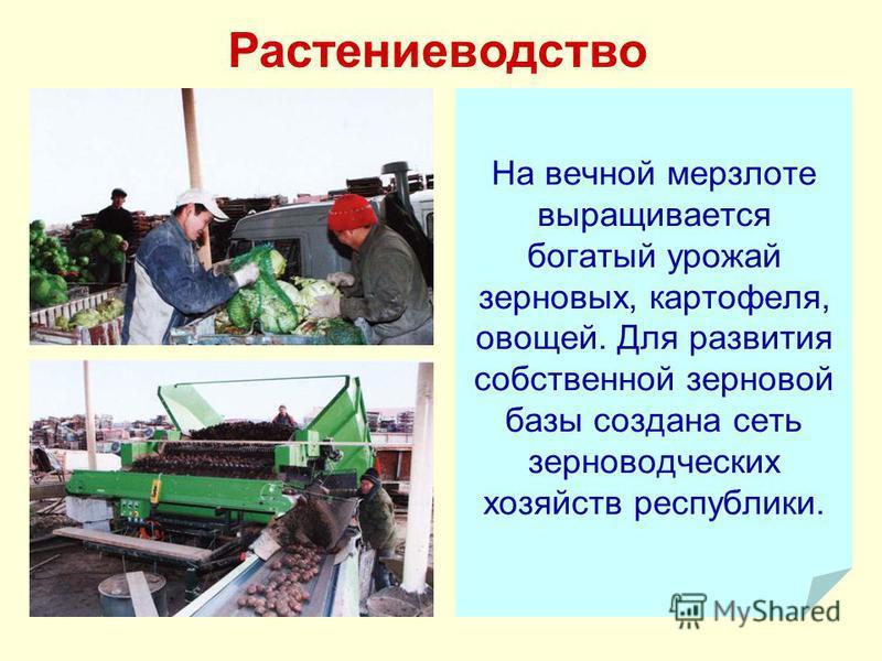 На вечной мерзлоте выращивается богатый урожай зерновых, картофеля, овощей. Для развития собственной зерновой базы создана сеть зерноводческих хозяйств республики. Растениеводство