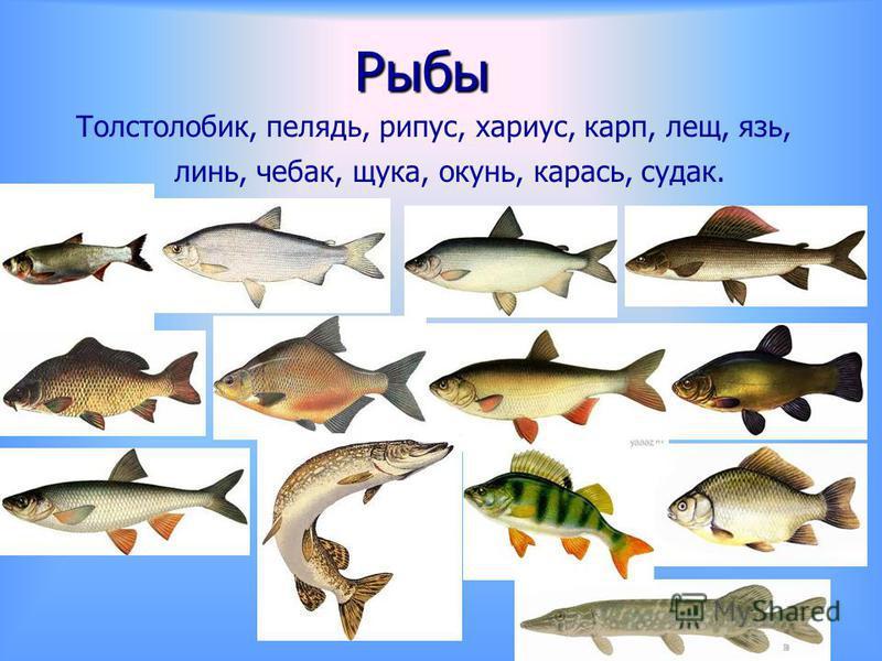 Рыбы Толстолобик, пелядь, рипус, хариус, карп, лещ, язь, линь, чебак, щука, окунь, карась, судак.