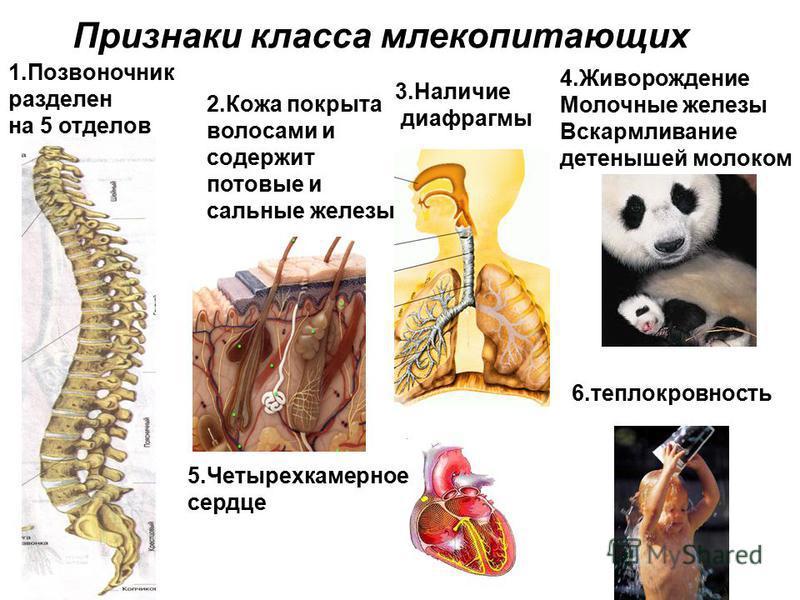 Признаки класса млекопитающих 1. Позвоночник разделен на 5 отделов 2. Кожа покрыта волосами и содержит потовые и сальные железы 3. Наличие диафрагмы 4. Живорождение Молочные железы Вскармливание детенышей молоком 5. Четырехкамерное сердце 6.теплокров