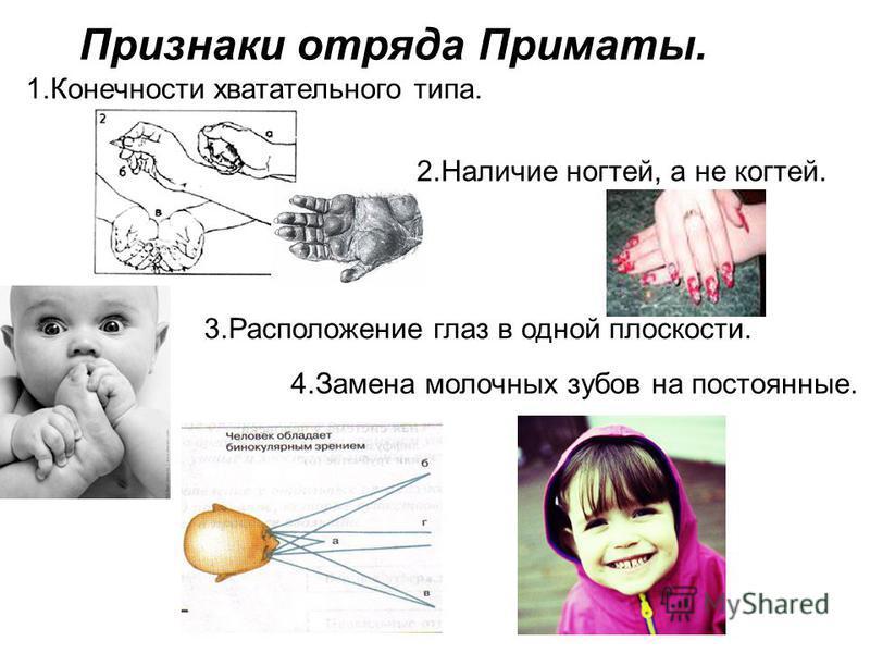 Признаки отряда Приматы. 1. Конечности хватательного типа. 2. Наличие ногтей, а не когтей. 3. Расположение глаз в одной плоскости. 4. Замена молочных зубов на постоянные.
