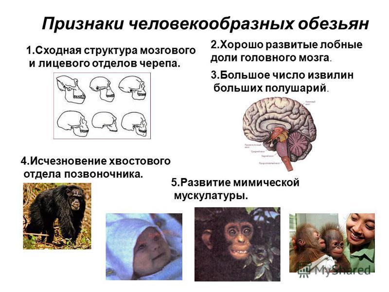 Признаки человекообразных обезьян 1. Сходная структура мозгового и лицевого отделов черепа. 2. Хорошо развитые лобные доли головного мозга. 3. Большое число извилин больших полушарий. 4. Исчезновение хвостового отдела позвоночника. 5. Развитие мимиче