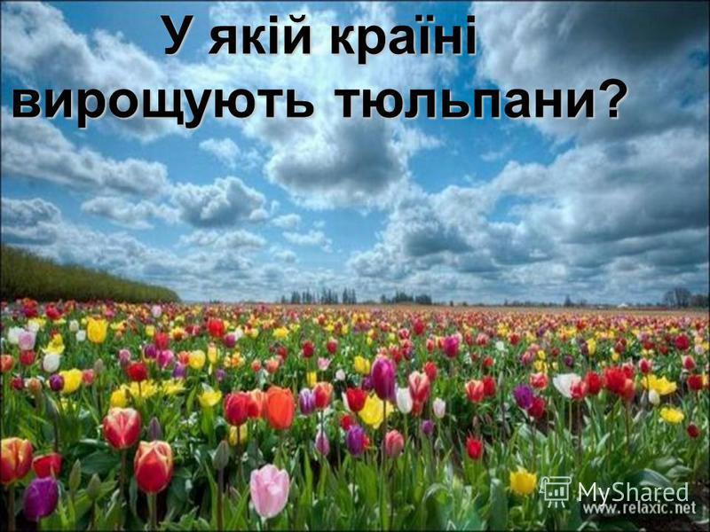 У якій країні вирощують тюльпани?