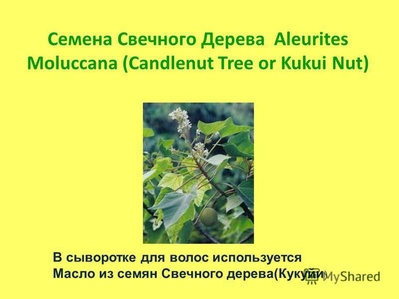 Семена Свечного Дерева Aleurites Moluccana (Candlenut Tree or Kukui Nut) В сыворотке для волос используется Масло из семян Свечного дерева(Кукуйи )