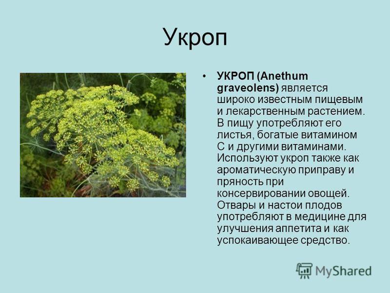 Укроп УКРОП (Anethum graveolens) является широко известным пищевым и лекарственным растением. В пищу употребляют его листья, богатые витамином С и другими витаминами. Используют укроп также как ароматическую приправу и пряность при консервировании ов