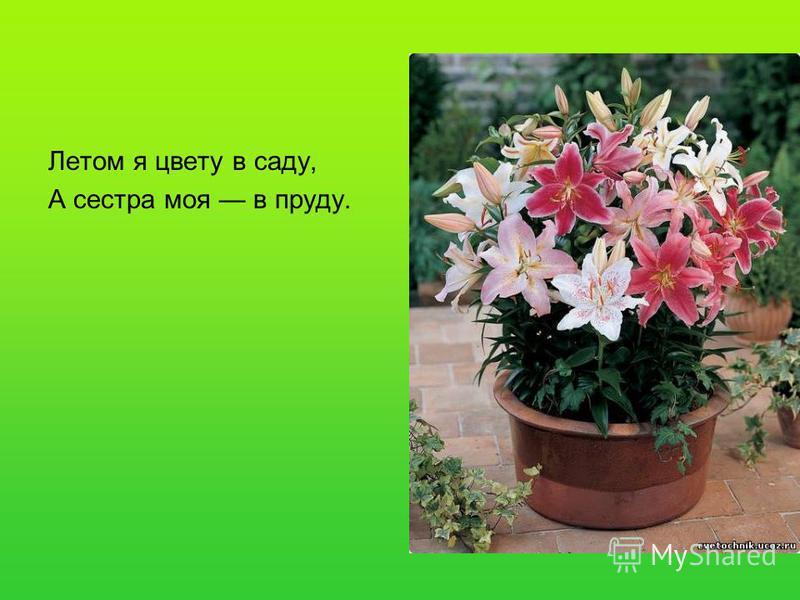 Летом я цвету в саду, А сестра моя в пруду.
