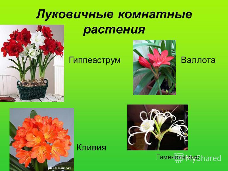 Луковичные комнатные растения Кливия Гиппеаструм Валлота Гименокаллис