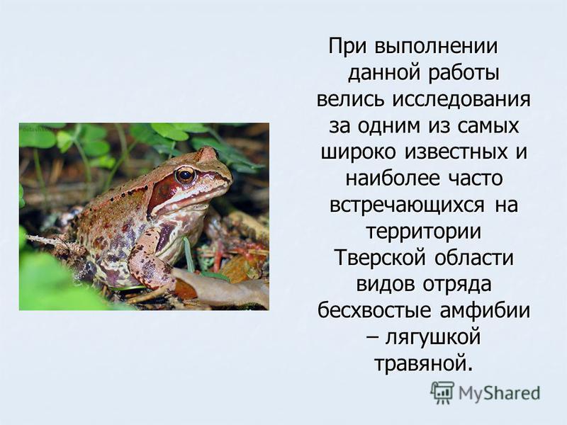 При выполнении данной работы велись исследования за одним из самых широко известных и наиболее часто встречающихся на территории Тверской области видов отряда бесхвостые амфибии – лягушкой травяной.
