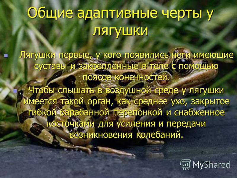 Общие адаптивные черты у лягушки Лягушки первые, у кого появились ноги имеющие суставы и закрепленные в теле с помощью поясов конечностей. Лягушки первые, у кого появились ноги имеющие суставы и закрепленные в теле с помощью поясов конечностей. Чтобы
