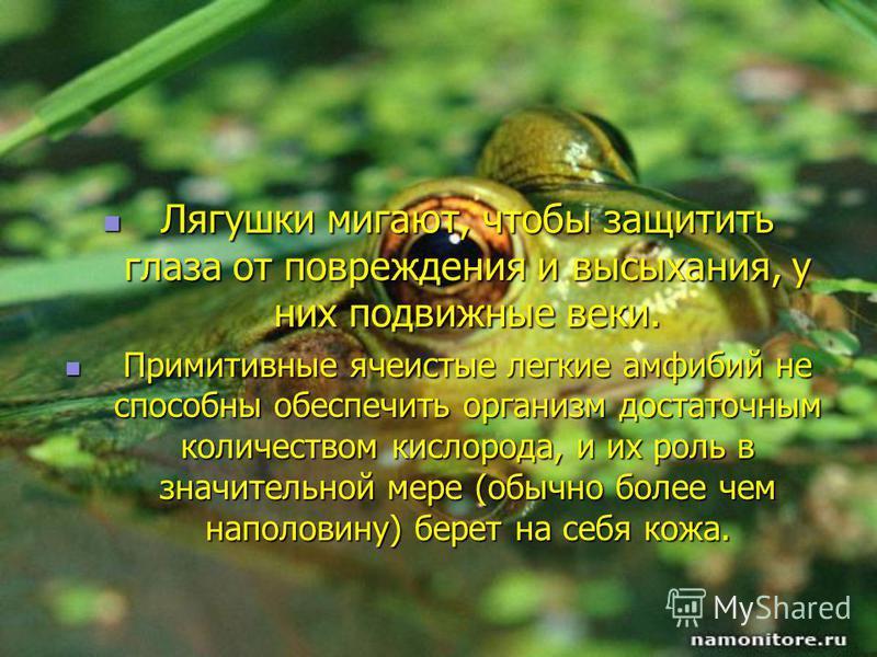 Лягушки мигают, чтобы защитить глаза от повреждения и высыхания, у них подвижные веки. Лягушки мигают, чтобы защитить глаза от повреждения и высыхания, у них подвижные веки. Примитивные ячеистые легкие амфибий не способны обеспечить организм достаточ