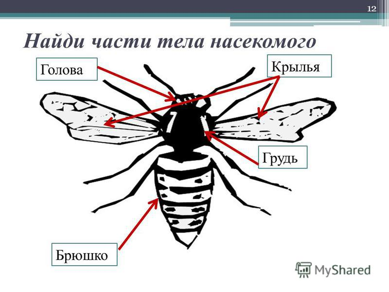 Найди части тела насекомого 12 Голова Грудь Брюшко Крылья