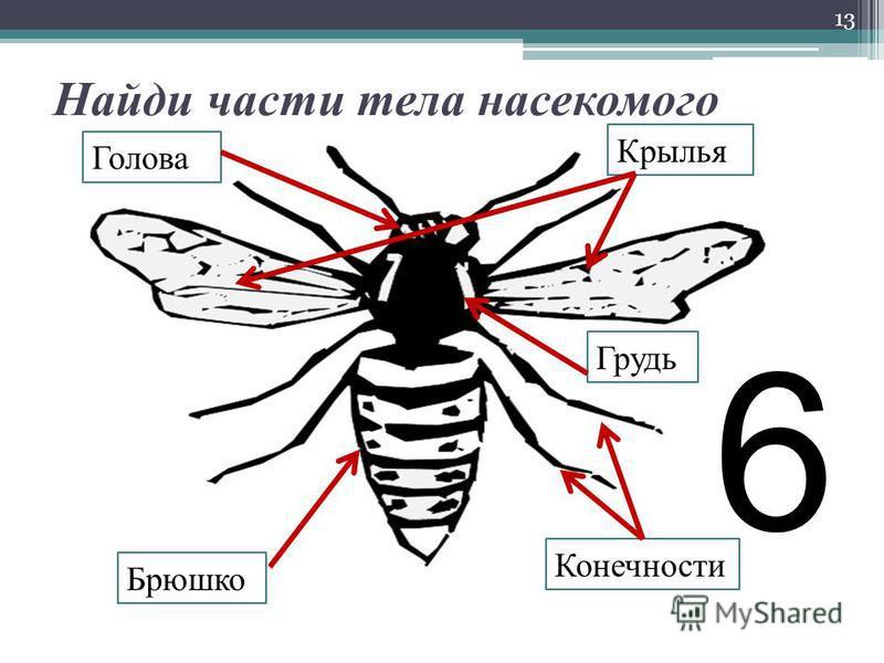 Найди части тела насекомого 13 Голова Грудь Брюшко Крылья Конечности 6