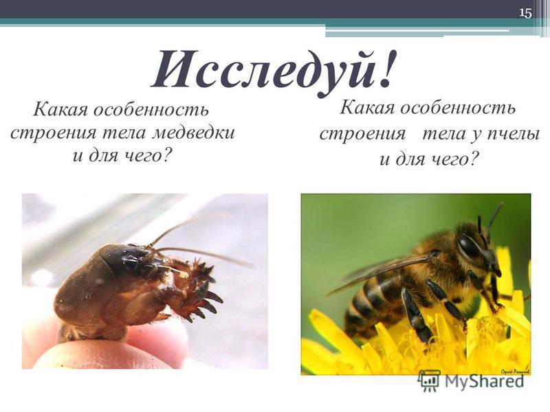 Исследуй! 15 Какая особенность строения тела медведки и для чего? Какая особенность строения тела у пчелы и для чего?