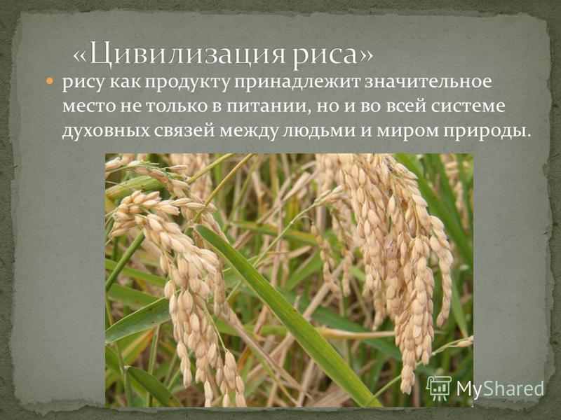рису как продукту принадлежит значительное место не только в питании, но и во всей системе духовных связей между людьми и миром природы.