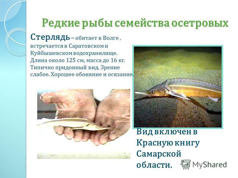 Редкие рыбы семейства осетровых Стерлядь – обитает в Волге, встречается в Саратовском и Куйбышевском водохранилище. Длина около 125 см, масса до 16 кг. Типично придонный вид. Зрение слабое. Хорошее обоняние и осязание. Вид включен в Красную книгу Сам