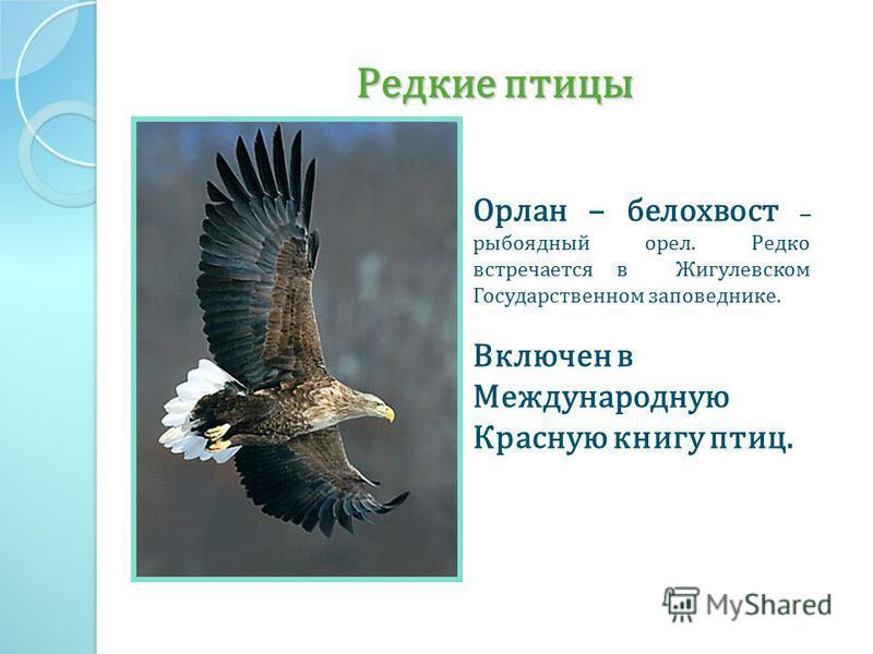 Редкие птицы Орлан – белохвост – рыбоядный орел. Редко встречается в Жигулевском Государственном заповеднике. Включен в Международную Красную книгу птиц.