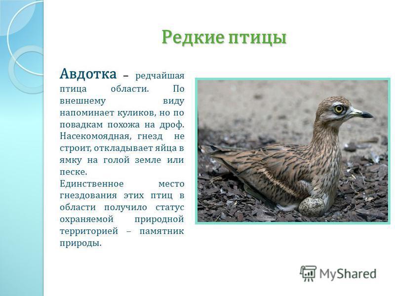 Редкие птицы Авдотка – редчайшая птица области. По внешнему виду напоминает куликов, но по повадкам похожа на дроф. Насекомоядная, гнезд не строит, откладывает яйца в ямку на голой земле или песке. Единственное место гнездования этих птиц в области п